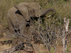 There were plenty of elephants by the bank of the Chobe River