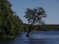 A submerged tree in the Chobe River