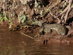 A resting crocodile catches the sun's rays by the riverbank