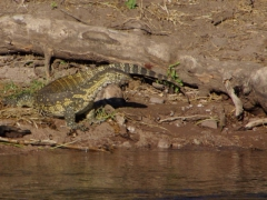 A monitor lizard peers across the Chobe River