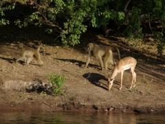 Baboons saunter past an impala; Chobe River