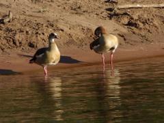 Skittish geese on the Chobe river bank