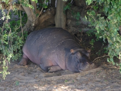A sleepy hippo rests by the riverside; Chobe River