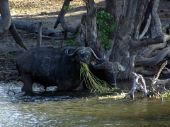 Water buffalo (one of the big five) by the water's edge at Chobe River