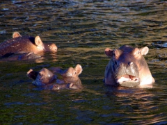 Hippos checking us out; Chobe River