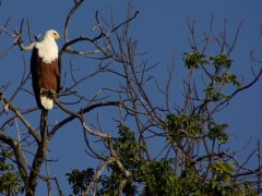 A fish eagle ponders its next meal; Chobe River