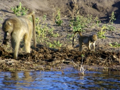 Baboons scavenge the riverbanks in search of food; Chobe River