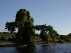 "This tree looks like it belongs on the set of the ""Lord of the Rings"" as we kept glancing at it and expecting it to come to life; Chobe River"