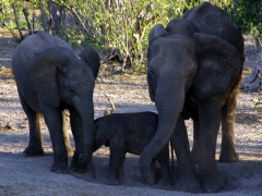 An elephant family portrait (sibling, baby and mother); Chobe River