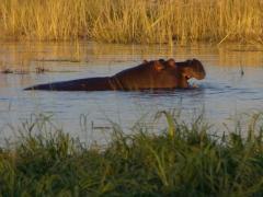 A grazing hippo eats aplenty before sundown; Chobe River