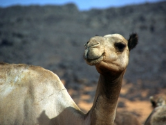 Camels are so ugly they become a bit adorable and cute!