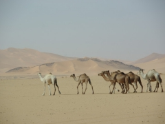 Camels crossing the desert near Tamgs Kis