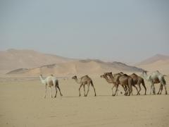 Camels crossing the desert near Tamgs Kis