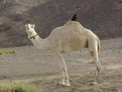 An inquisitive crow decides to take a rest on the hump of a camel; Assekrem