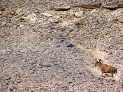 We spotted a wild mouflon as we were driving through the desert searching for a place to camp; south of In Salah