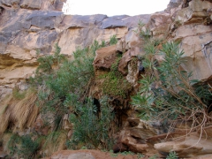 Plants growing right out the side of the rock where water trickles down into a large guelta; south of In Salah