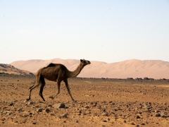 A solitary wild camel sprints as it spots our 4x4 (good thing, since it is Tuareg custom that if a camel is unmarked by a brand, whoever catches it can own it)