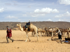 Tuaregs using a camel to draw water from a deep well; Tamgs Kis