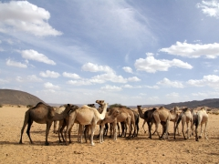 The tuaregs separate their herd of camels into two sections. One section is full of boisterous males, and the other section is for pregnant female camels (this is the male section)