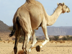 A camel attempts to get his front legs out of a hobble rope