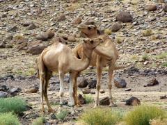 Two camels necking; Afilal
