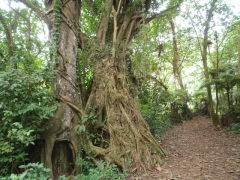The pretty path on a not so steep section of the Mt Cameroon Guinness trail