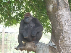 Gorilla viewing while having lunch is a special treat; only at Limbe's Chella's restaurant; Limbe Wildlife Center