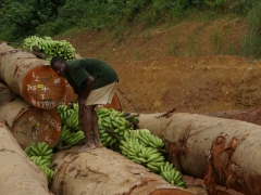An entrepreneurial Congolese man stuffs bananas atop his log load for transport to Pointe Noire