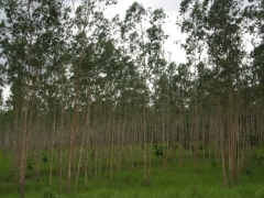 A tree plantation on the outskirts of Pointe Noire