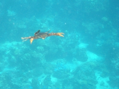 A fiesty red legged swimming crab attacks us as we enter the water at the Gulf of Tadjoura