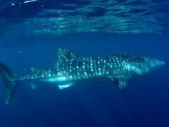 Our first glimpse of a juvenile whale shark leisurely patrolling the Gulf of Tadjoura