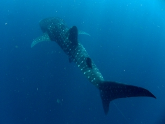 Juvenile whale sharks average about 4 meters in length (by comparison, fully grown adults measure up to 12.5 meters in length)