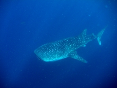 From November to February each year, swarms of juvenile whale sharks congregate in the Gulf of Tadjoura to feed on plankton. It is unknown why only the juvenile whale sharks migrate here