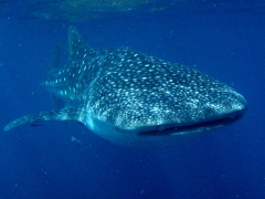 Whale sharks can be identified by their spot patterning