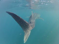 Final view of a magnificent whale shark. On our first trip to the Gulf of Tadjoura, we only saw 2 whale sharks (both quickly submerged out of view) but on our second trip we had 7 whale shark sightings and over two hours of non stop snorkeling beside them