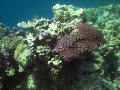 A snapshot of Djibouti's healthy reef