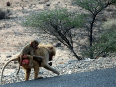 A baboon mother scrounges the roadside for food while her baby clutches on