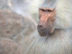 This dominant male baboon patiently stares at our guide while waiting for a snack