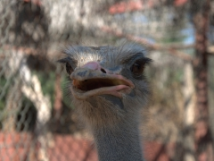 A curious ostrich checks us out; Dikhil palmerie