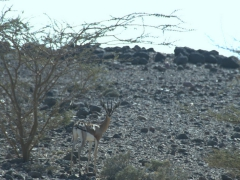 Due to a 1970s hunting ban, antelope such as the Soemmerring's gazelle thrive in Djibouti