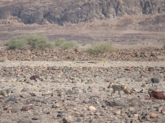 A black backed jackal calls Lac Abbe home