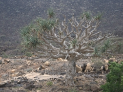View of a Dragon Tree
