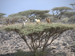 Yes, goats did indeed hop on top of this thorny tree and are munching about without a care in the world