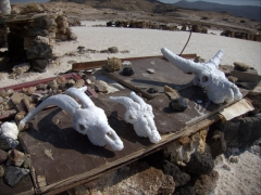 Vendors selling salt crystallized goat and cow skulls. They told us it only takes about 2 weeks soaking in Lac Assal for a skull to become crystallized!