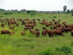 Cows galore in the DRC countryside