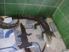 Aggressive baby crocodiles kept in a makeshift pool inside our host's house; Nubian Village on the first Cataract of the Nile