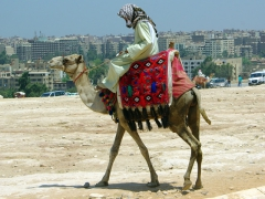 A cameleer rides in search of eager tourists; Pyramids of Giza complex