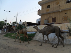 Camels used for everyday purposes; Nubian Village