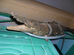 Snapshot of a stuffed crocodile hung on top of the entrance way to our Nubian Village host's home