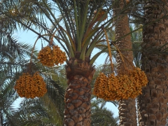 Golden dates galore near Saqqara